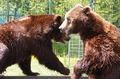 Rom�nia are aproape jumătate din numărul de urşi bruni din spaţiul UE