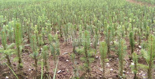 """Peste 115 mii de puieţi vor fi plantaţi în această primăvară de silvicultorii de la """"Izvorul Florii"""" Avrig"""
