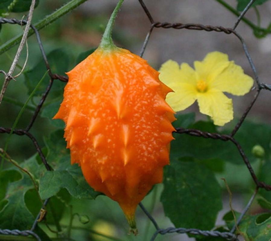 Medicina naturistă: Momordica (Momordica charantia)