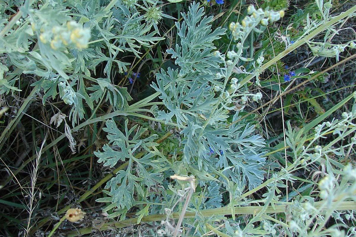 Medicina naturistă: Pelinul (Artemisia absinthium)
