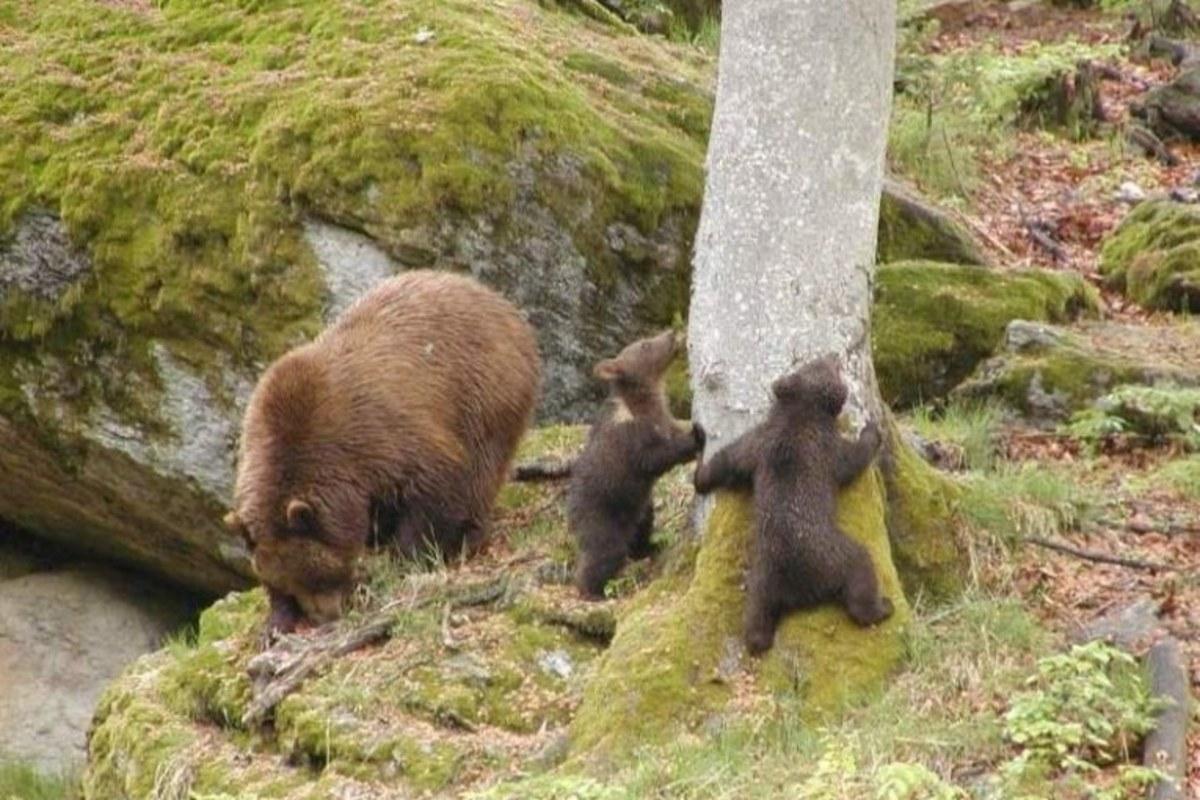 Urșii fac prăpăd pe Valea Hârtibaciului: localnicii au cerut despăgubiri pentru 28 de oi și viței, două vaci și un taur de reproducție
