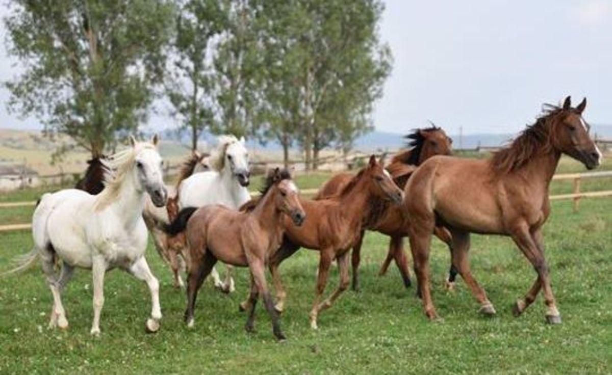 Premieră la Sibiu. Festival al cailor pur sânge arab