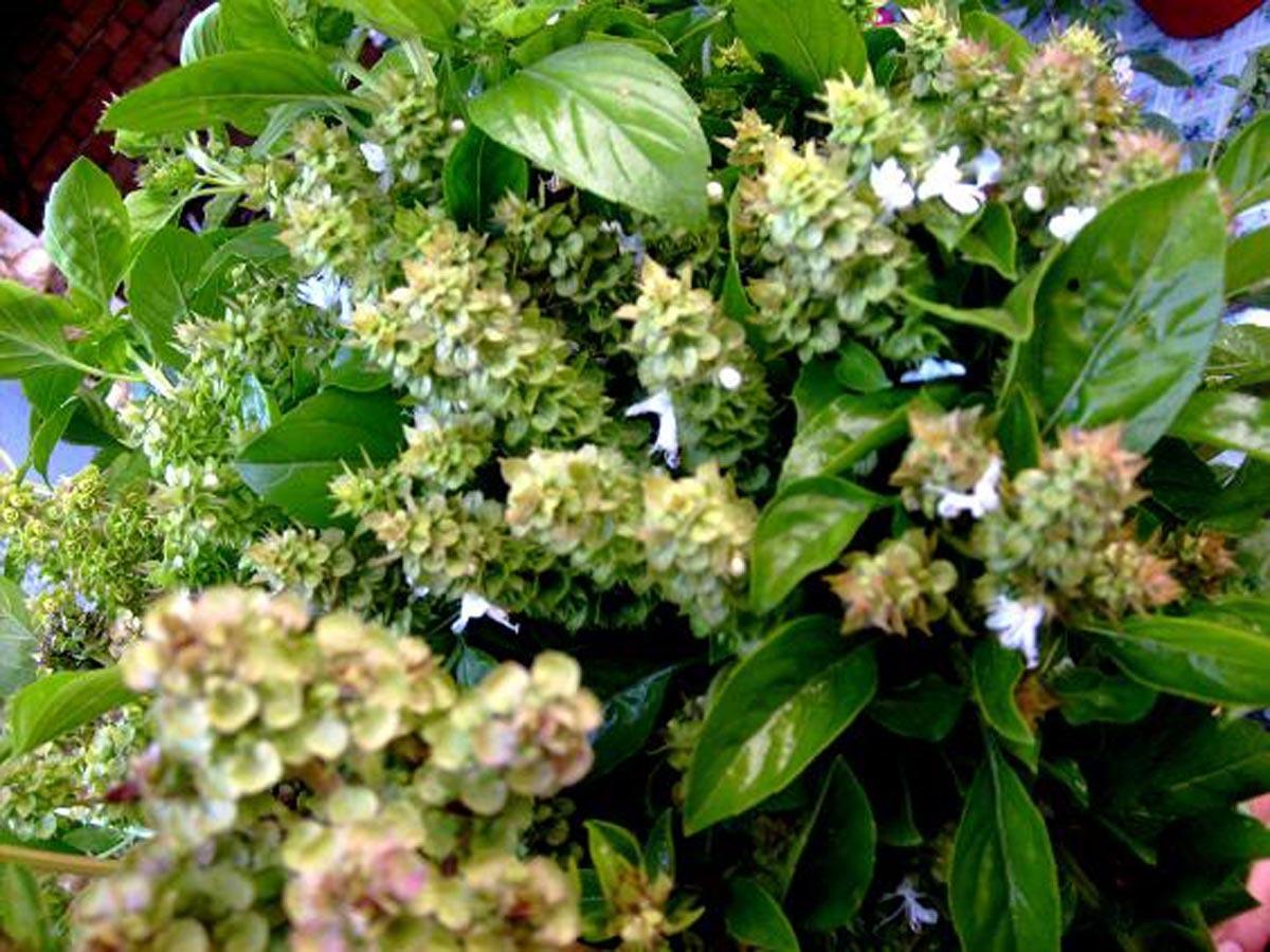 Medicina naturistă: Busuiocul (Ocimum basilicum)