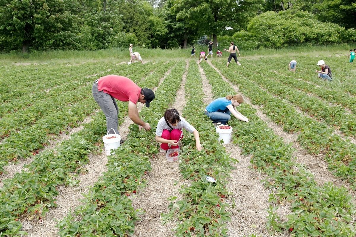 800 de locuri de muncă pentru sezonieri, în Spania, la cules de căpșuni