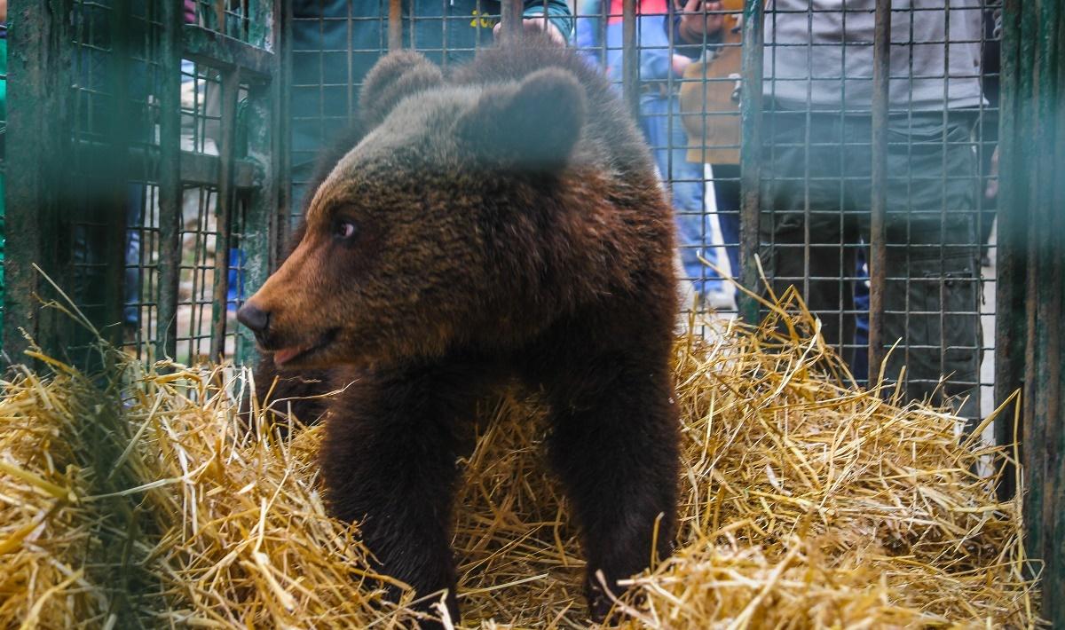 Primăria încheie contract pentru recoltarea urșilor ce ajung în Sibiu sau Păltiniș. Și face un adăpost