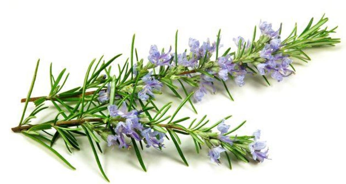 Medicina naturistă: Rozmarinul (Rosmarinus officinalis)   Timp ...