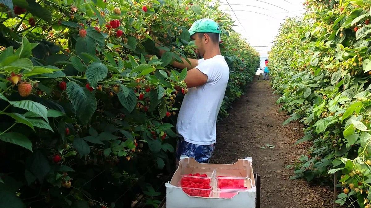 Portugalia angajează 300 de persoane la cules de zmeură. Salariul de bază este 603 euro pe lună