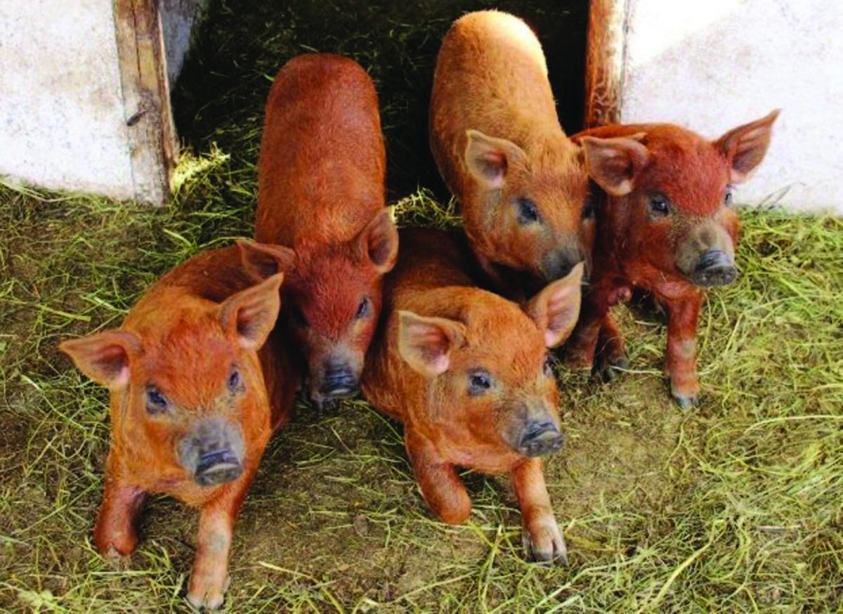 Ajutoare pentru cei care cresc porci din rasele Bazna şi Mangaliţa