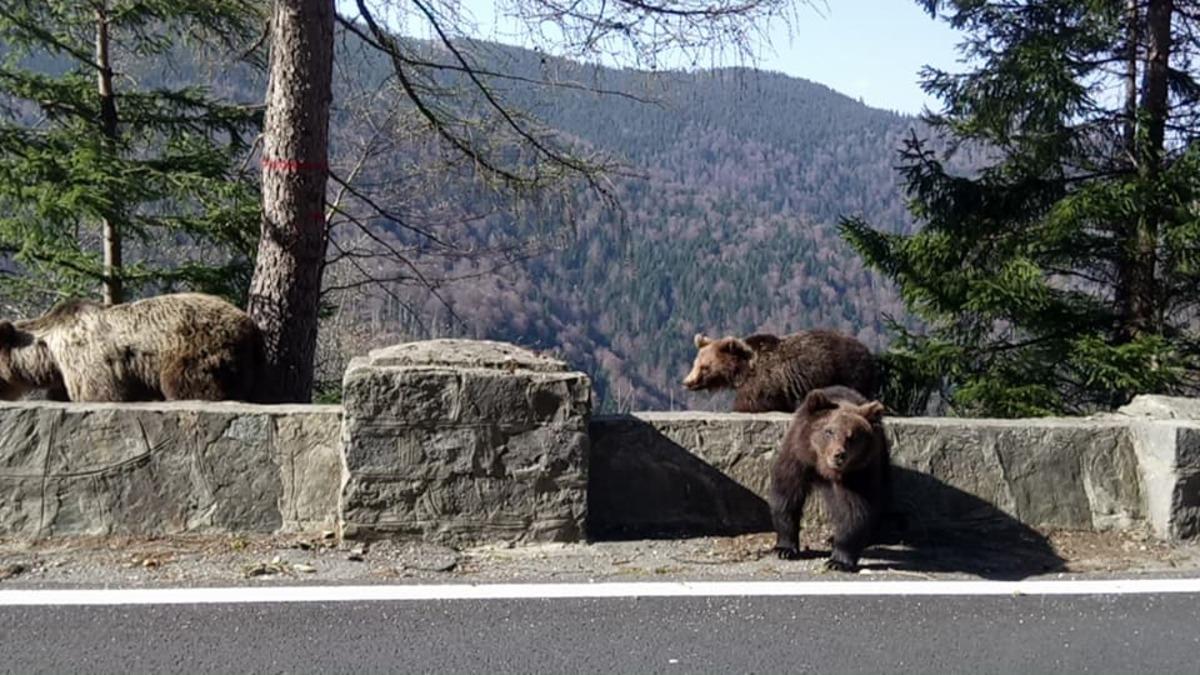Imagini spectaculoase cu urși pe Transfăgărăşan aproape de Bâlea Cascadă!