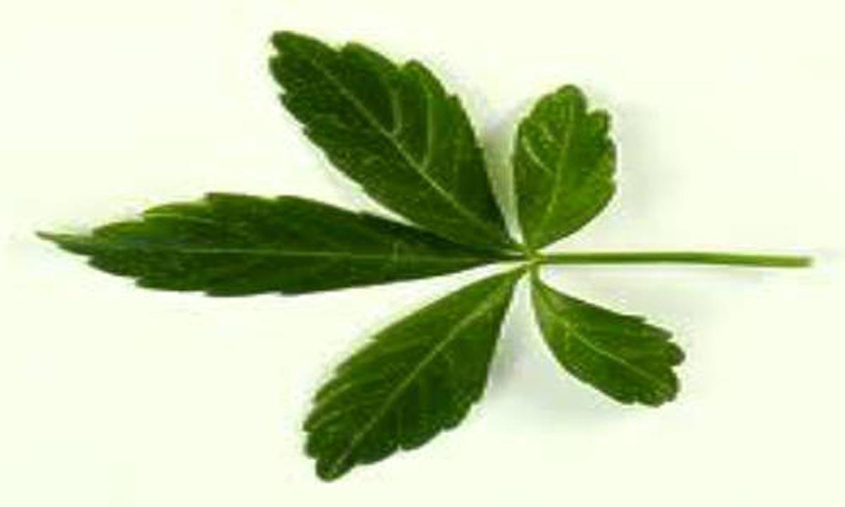 Medicina naturistă: Gynostemma Herba, cu efecte anticancer