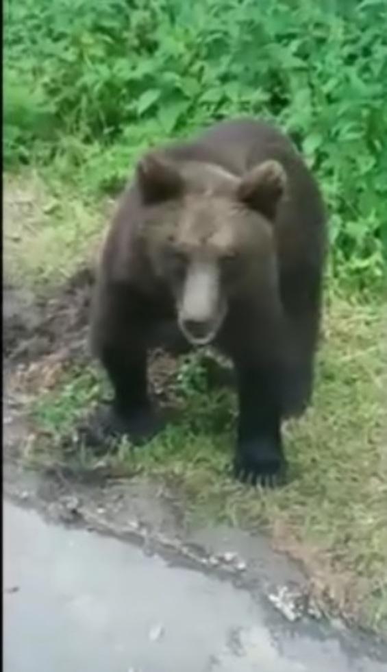 VIDEO: Muncitorii de pe Transfăgărășan, deranjați de urși